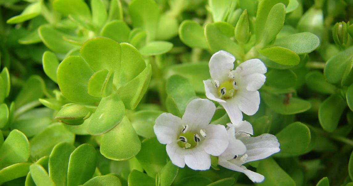 Brahmi or Bacopa Monnieri: Easy to grow medicinal herbs