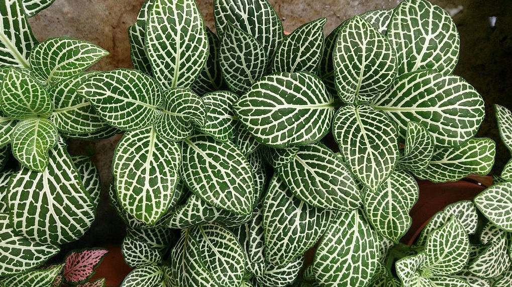 Fittonia: Easy to grow eye catching beautiful house plants
