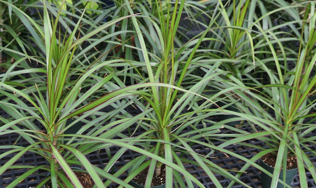 Marginata care and details: Beautiful looking house plants