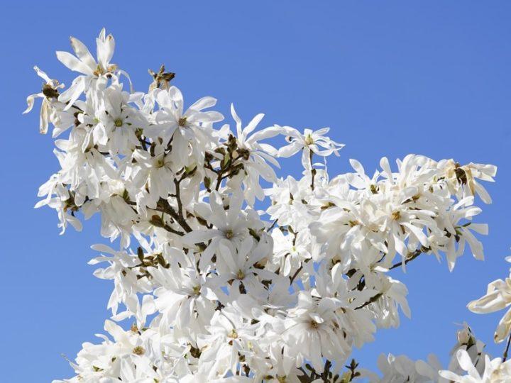 Star Magnolia Bonsai