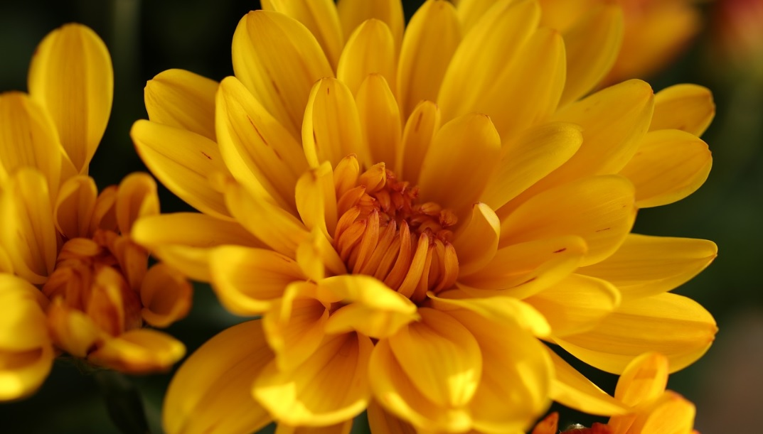 Chrysanthemums: Plants with beautiful breathtaking flowers