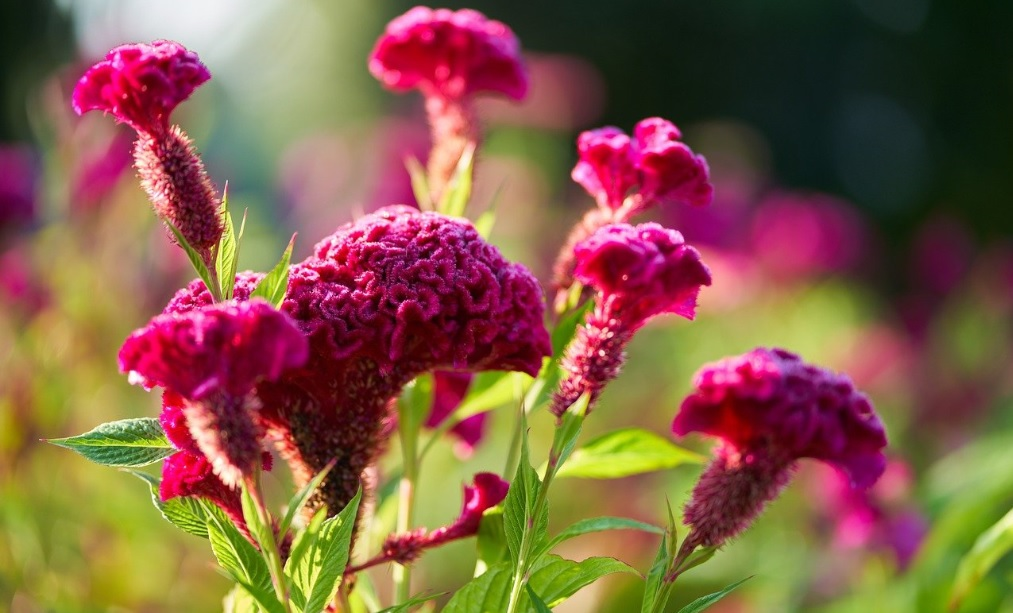 Cockscomb Flower: Velvety, Smooth and Unique Beautiful Flowers