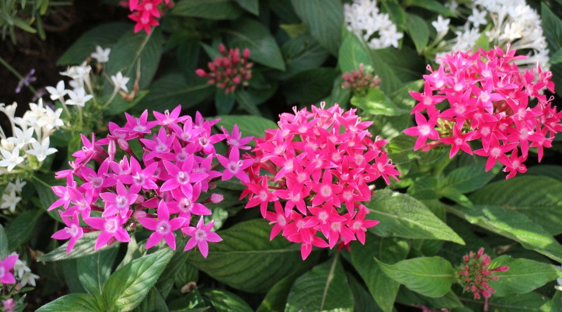 Pentas: Easy to Grow Perennials with Pretty Star  Flowers