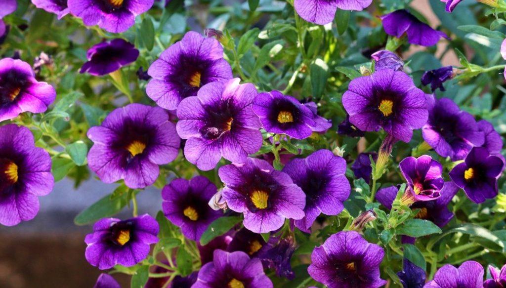 winter flowering plants in india, Petunia