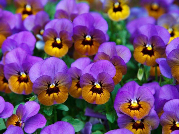 Winter Flower Plants in India