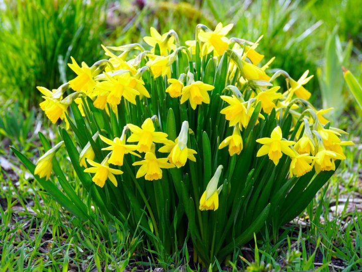 Daffodils Plants