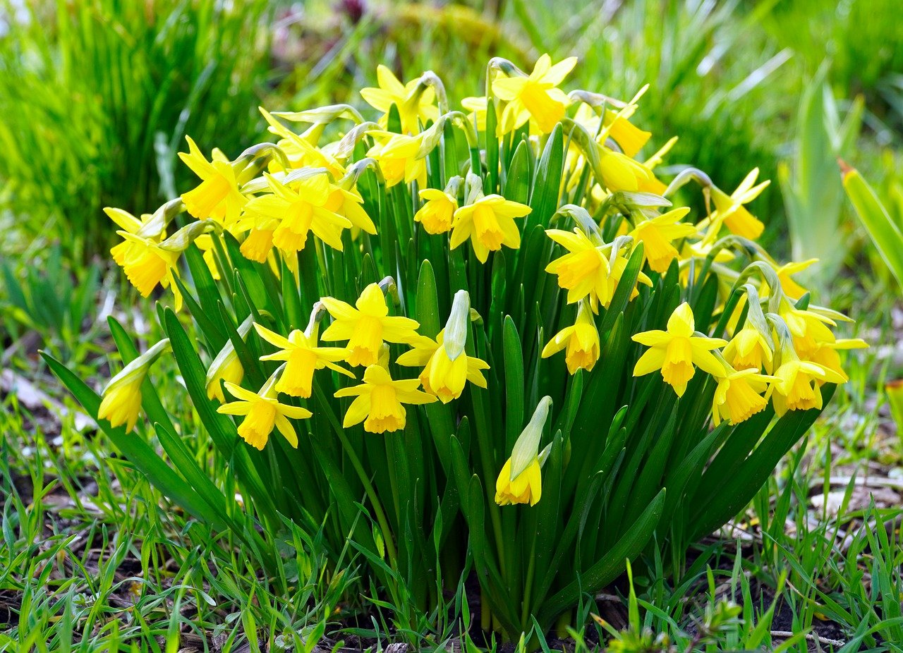 Daffodils Plants: Calm and beautiful flowers – Details and Care tips