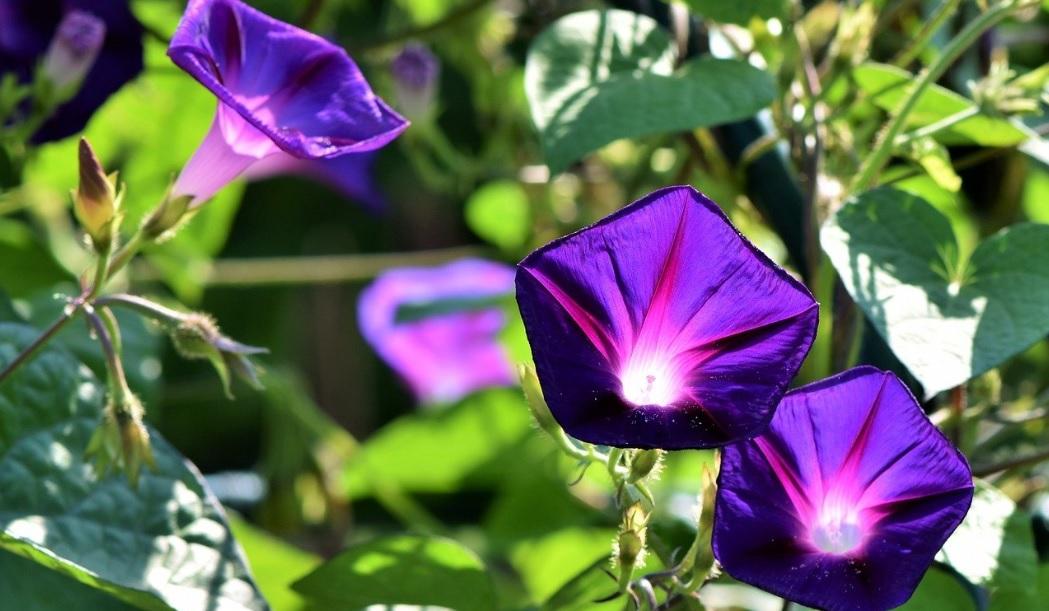 Morning glory: Elegant climbers with bright beautiful flowers