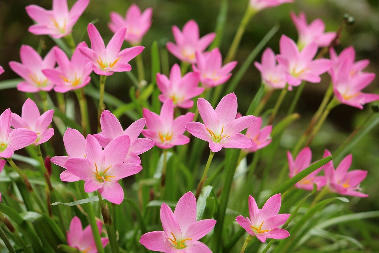 Rain lily: Easy to grow perennials with pretty colorful  flowers