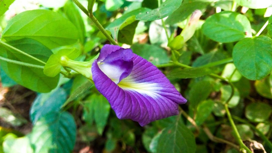 Aparajita Plant: Easy to care perennials with  enchanting  blue flower