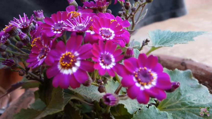 Cineraria Plant