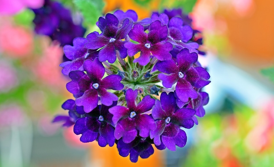 Verbena Plant: Small, stunning and attractive flowers