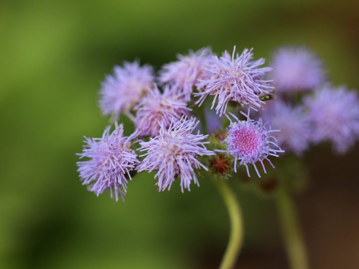 Ageratum Plant: Easy to care annuals with  unique  beautiful flowers