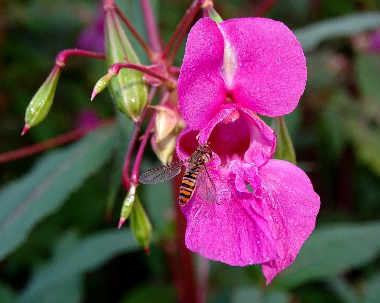 Balsam Plant with vibrant attractive flowers