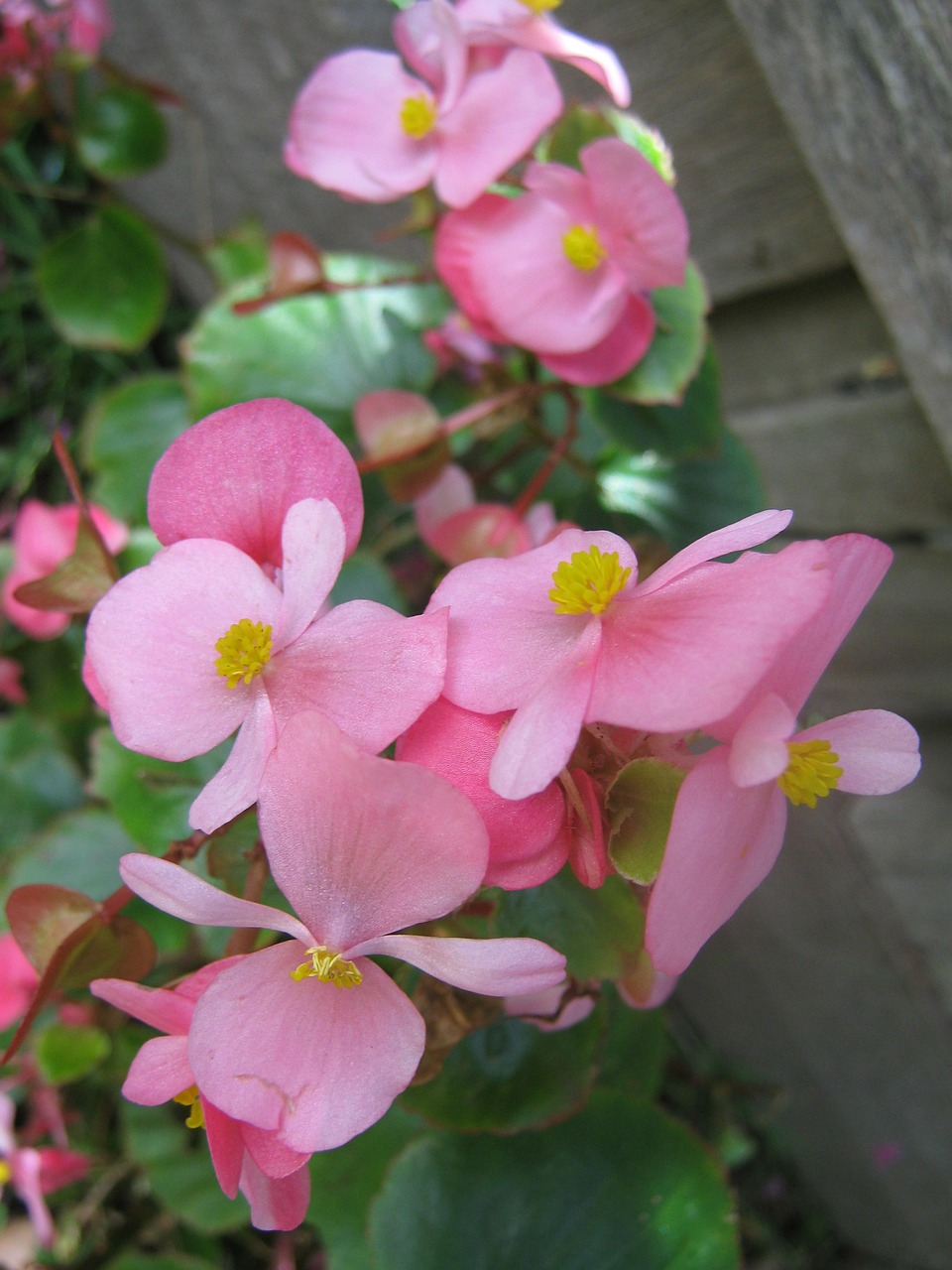 Wax Begonias Plant: Perennial herbs with bright beautiful flowers