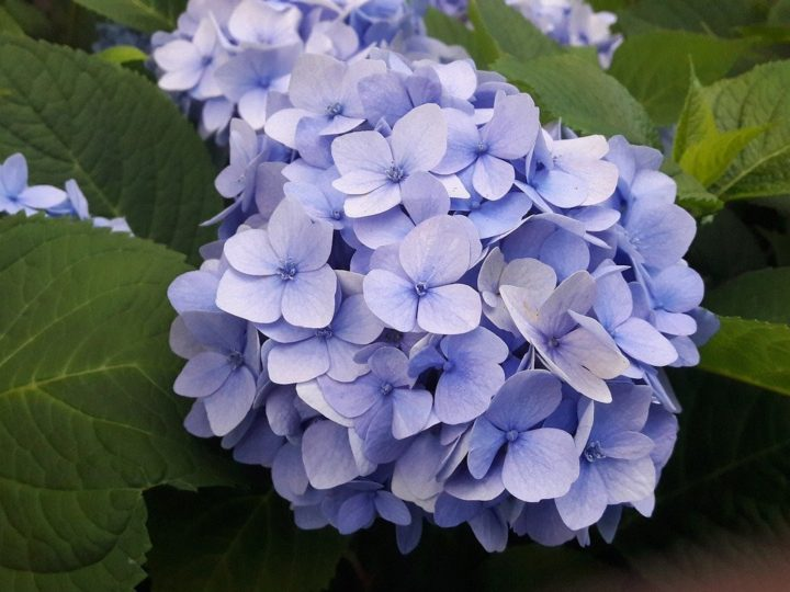 Hydrangeas Plant