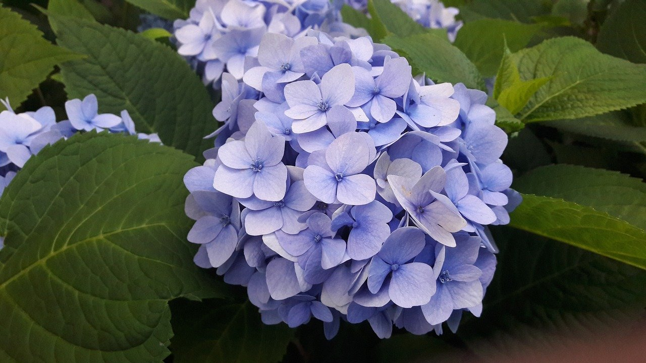 Hydrangeas Plant: Easy to care plants with attractive colorful flowers