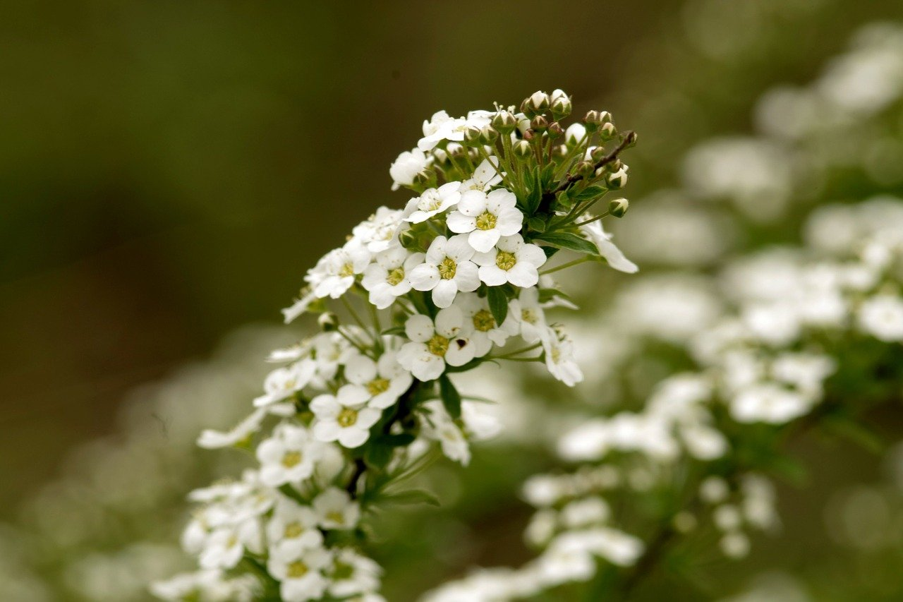 Alyssum Plant: Stunning and attractive flowers