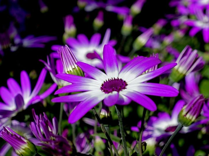 Cineraria Plants with unique stunning  flowers