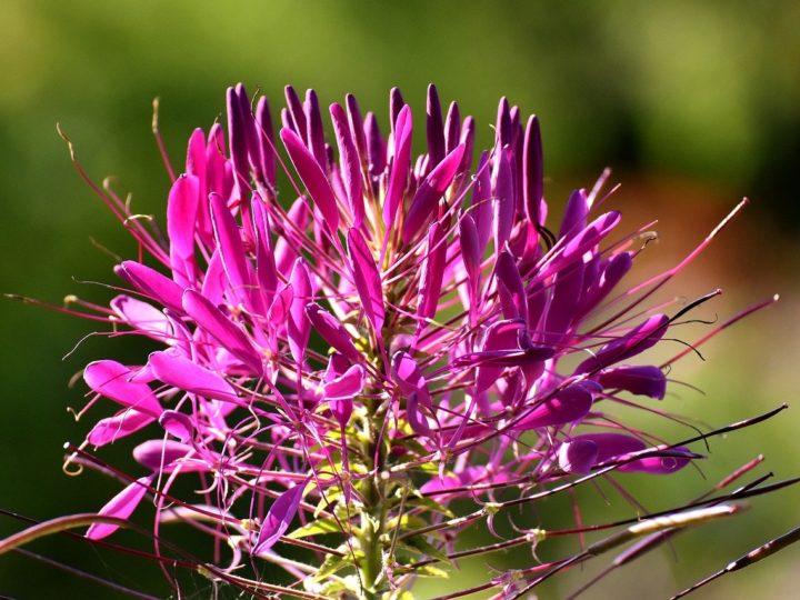 Cleome Plant
