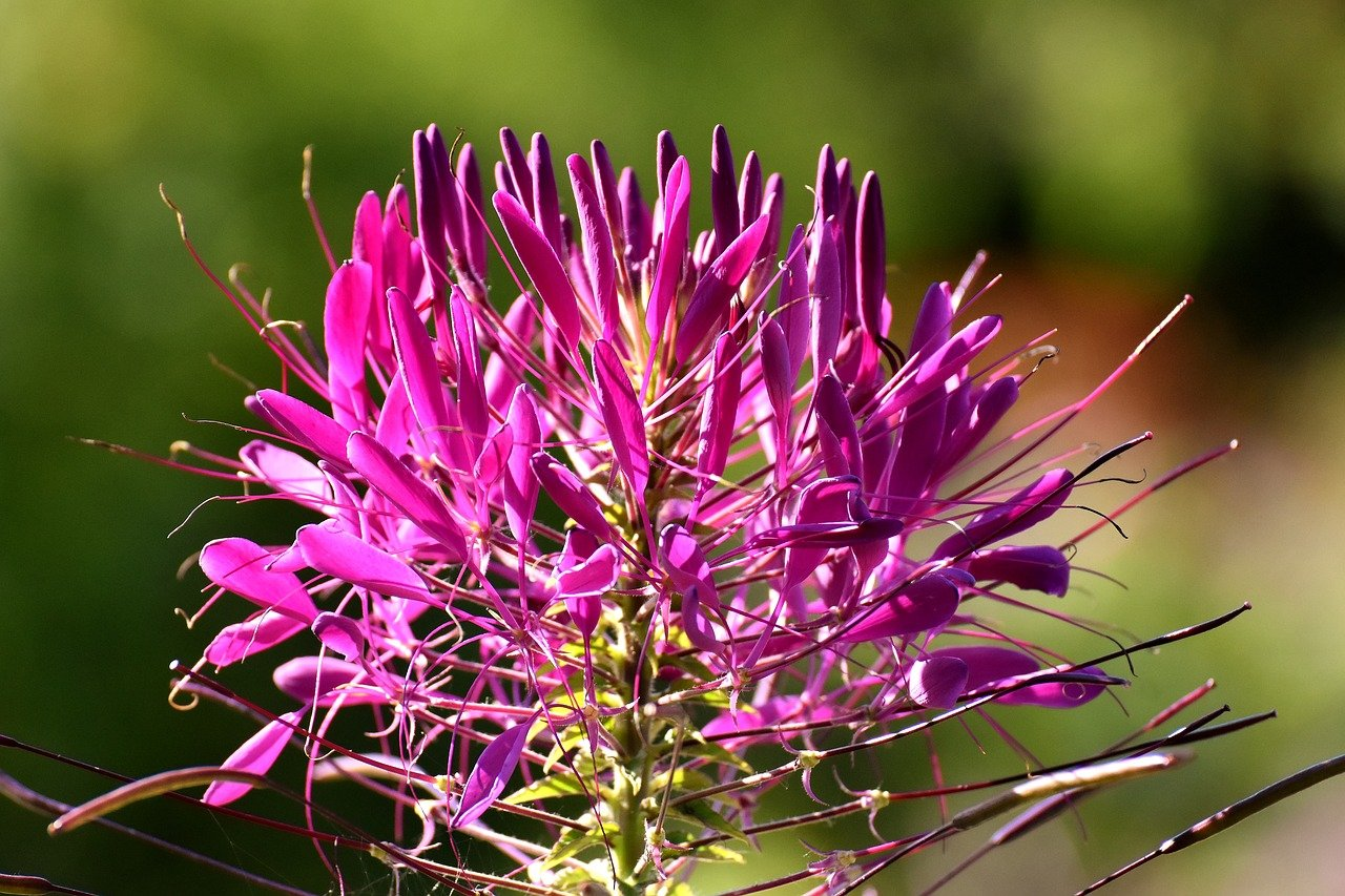 Cleome Plant: Easy to care beautiful flowers and attract pollinators