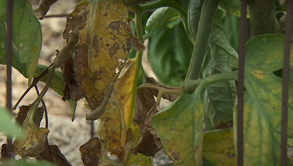 Leaves of Tomato Plant Turning Yellow – Know the Top 6 Reasons and Solution