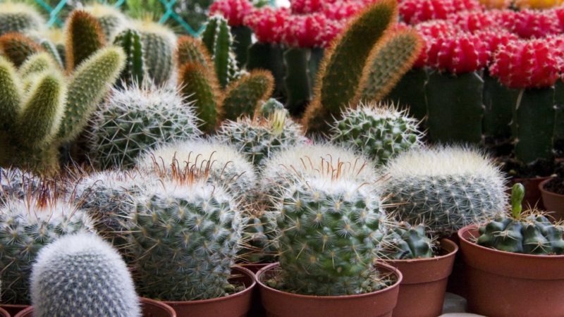 Cactus care