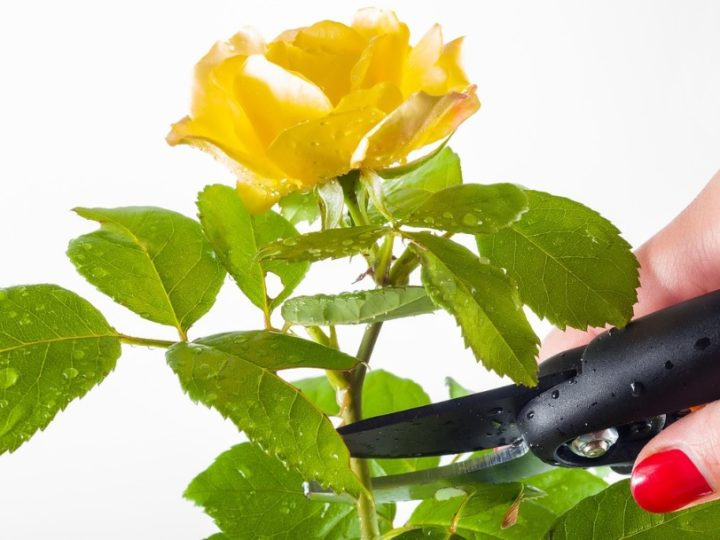 Rose plant care tips