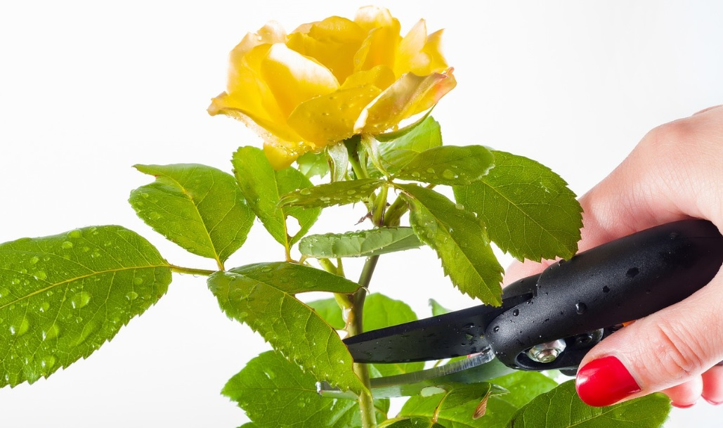 Rose plant care tips: Top 9 reasons why most of the people fail in growing roses
