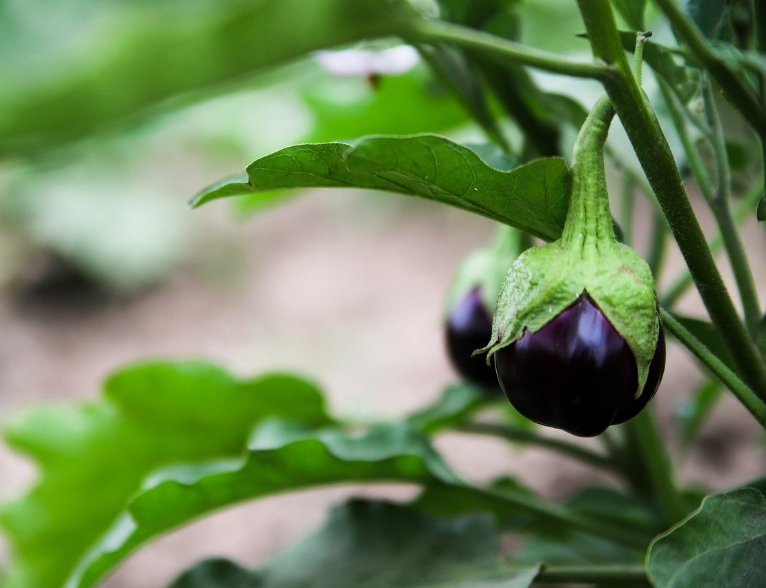 Brinjal Plant Care: Easy to Grow  Tasty Vegetable Plant