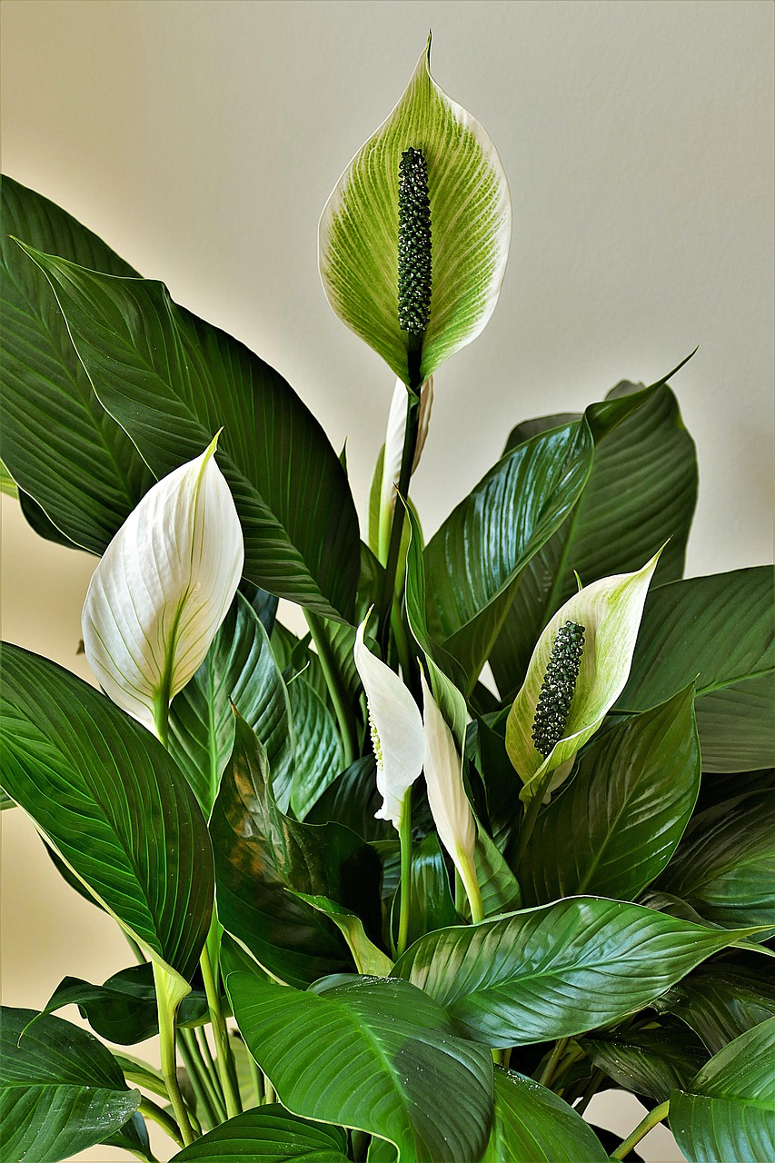 Peace Lily Care: Beautiful houseplants with white pleasant flowers
