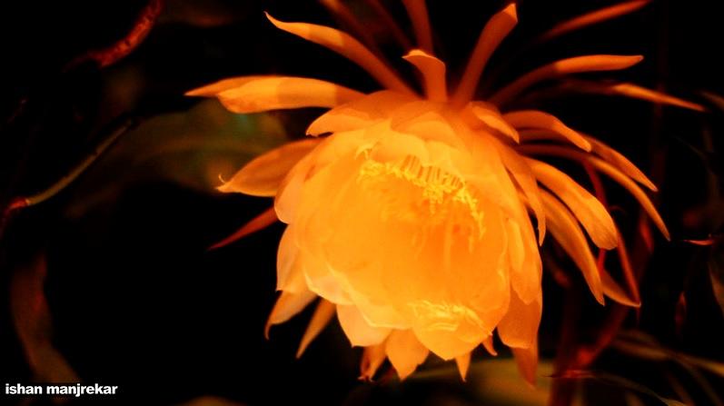 Brahma Kamal: Plants with beautiful white majestic flowers