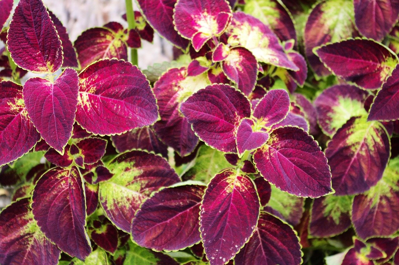 Coleus Plant: Easy to grow houseplants with vibrant leaves