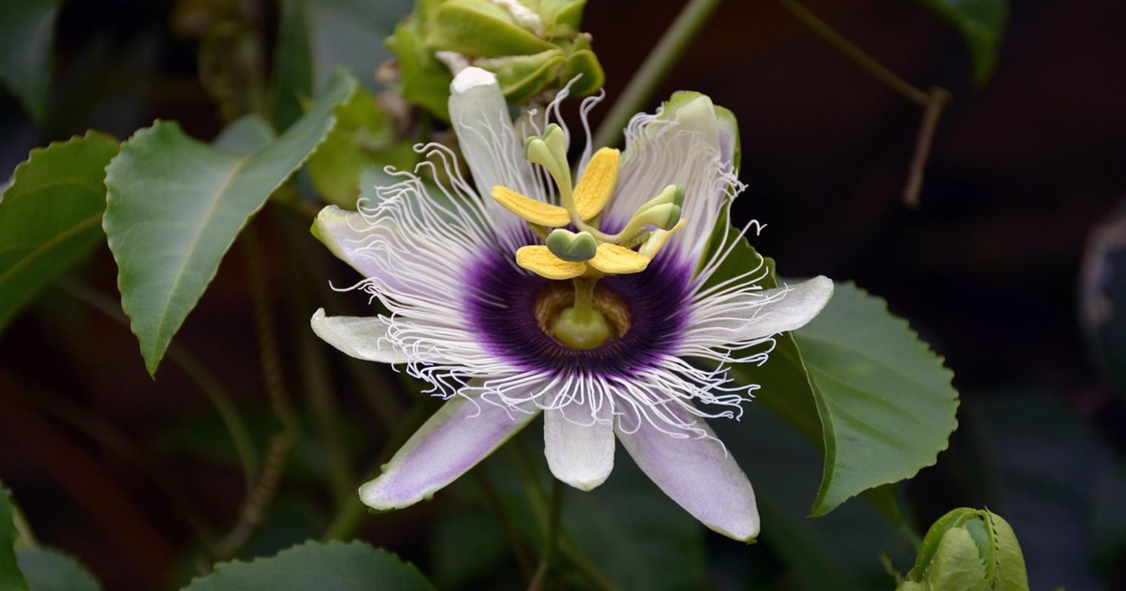 Krishna Kamal: Plants with unique looking pretty flowers
