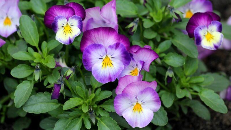 Pansy Flower Plants