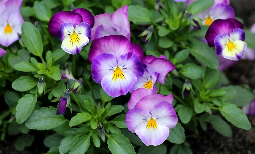 Pansy Flower Plants with attractive flowers
