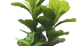 Fiddle-Leaf-Fig-Plant