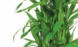 Lucky-Bamboo-Plant