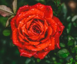 Rose-Details-and-Care-TIps