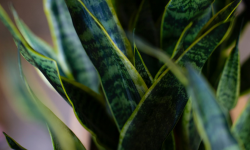 Snake Plant - Best air purifying and easy to care plant