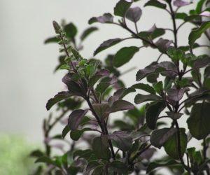 Indian Herbs, Tulsi