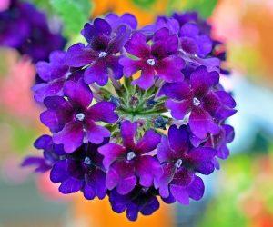 Verbena Plant