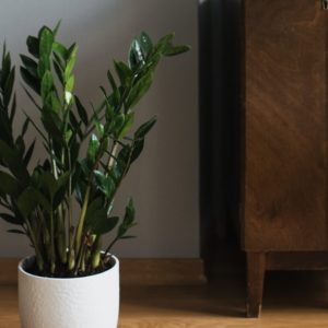 ZZ Plant - Hard to kill air purifying plant