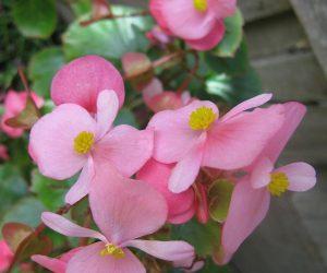 Wax Begonias Plant